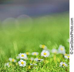 pole, biały, margerytki