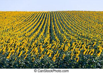 pole, cudowny, lato, prospekt, słoneczniki, panoramiczny