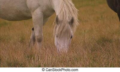 pole, koń, jedzenie, biały
