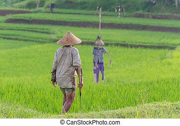 pole, kobieta, kapelusz, ryż