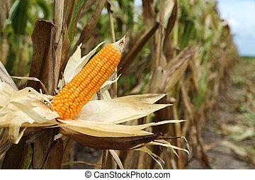 pole, kukurydziany badyl