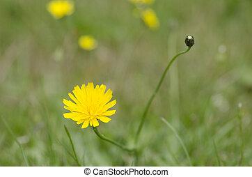pole, kwiat, żółte tło, zamazany