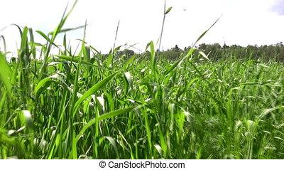 pole, pieszy, trawa
