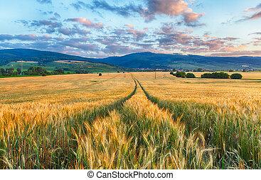pole, pszenica, -, rolnictwo