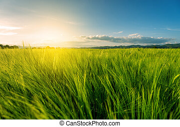 pole, pszenica, zachód słońca