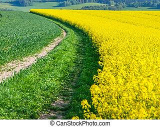 pole, roślina, żółty, gwałt