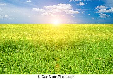 pole, ryż