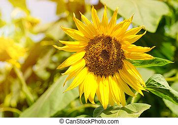 pole, słonecznik