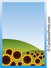 pole, słoneczniki
