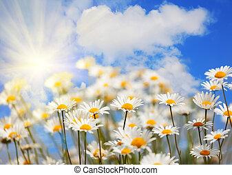 pole, z, camomiles, z, przedimek określony przed rzeczownikami, błękitne niebo, i, przedimek określony przed rzeczownikami, słońce