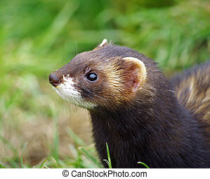 Polecat close up - Close up profile of Pole cat animal