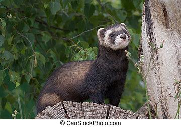 Polecat-coloured Ferret