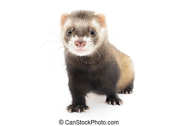 Polecat isolated in front of white background.