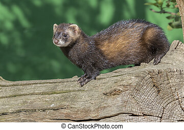 Polecat (Mustela putorius) close-up