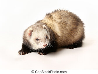 Polecat - Portrait of ferret (polecat). Taken indoors and...