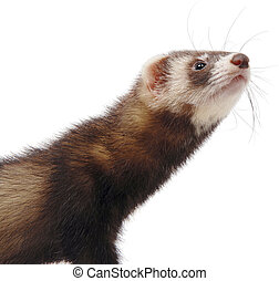 Polecat portrait with white background