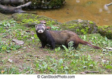 Polecat, Putorius putorius, single mammal on grass