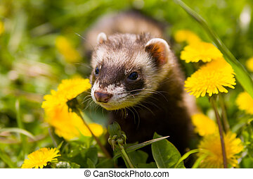 Polecat walking on the grass near dandelions