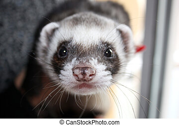 Polecat. - Portrait of a cute ferret/polecat