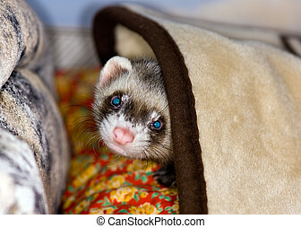 Polecat under a blanket - The domestic polecat plays on sofa...