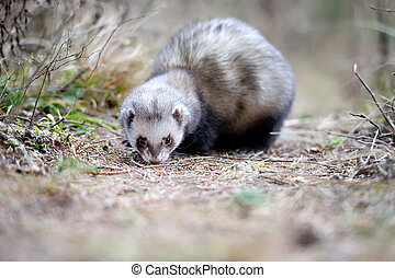 Polecat - Wild polecat in forest