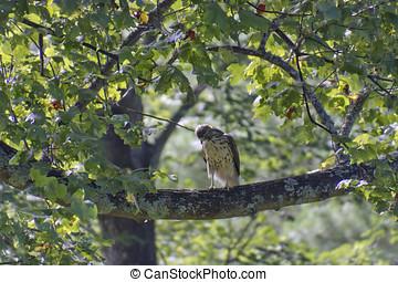 poleiro, caçador, vermelho, falcão, tailed