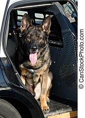 A police dog sitting in the backseat of the patrol car.