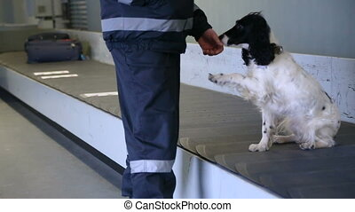 Police dog Spaniel gives paw. Border dog asks to play with...