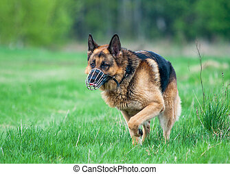 Police German shepherd dog running on grass