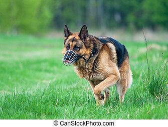 Police German shepherd dog running on grass