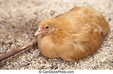 polir, orpington, poulet