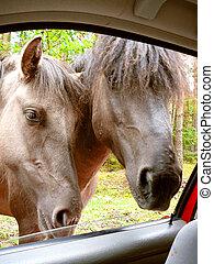 Polish horses in the windows car.