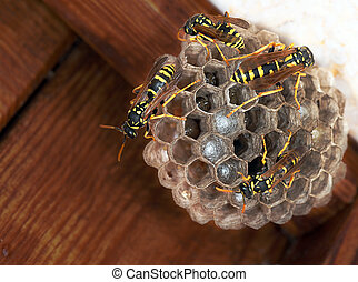 Polistes dominula - paper wasp nest with young. By house...
