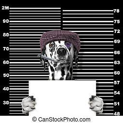 politie, foto, dog, black , station., crimineel, dalmatian