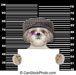 politie, foto, dog, shitzu, black , station., crimineel