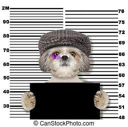 politie, foto, dog, shitzu, witte , crimineel, station.