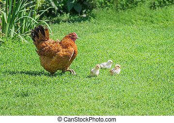 pollame, iarda