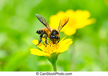 Pollen covered honey bee on a wild - A bee drinking nectar ...