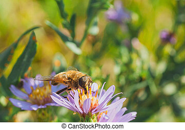 Pollen Covered Hoverfly