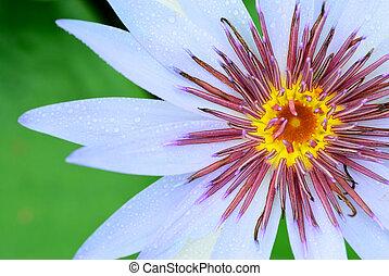 pollen, lis