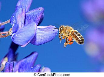 pollen, lupin, bleu, abeille