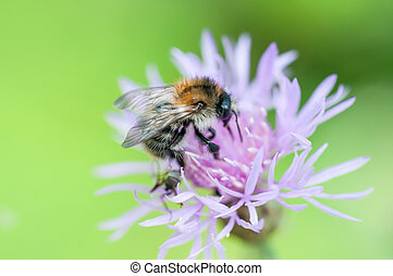 pollen, macro, bourdon, coup, ramassage