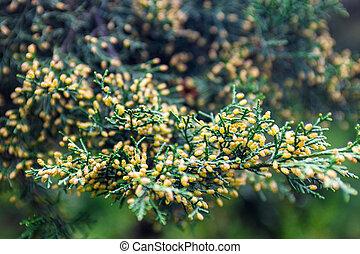pollen-producing, mann, kegel, wacholder, zweig