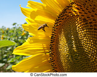 Pollinating bee - Beautiful view at honeybee pollinating ...