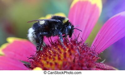 Pollination - bumle bee in flower - Pollination - detail of...