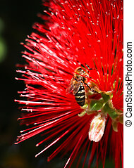 Pollination concept. Yellow and black worker bee on red ...