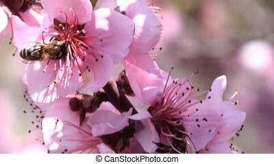 Pollination of flowers by bees peach. White pear flowers is...