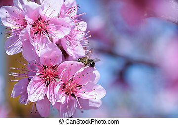 Pollination of flowers by bees peach. White pear flowers is ...