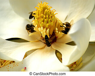 pollination of magnolia flower by bees