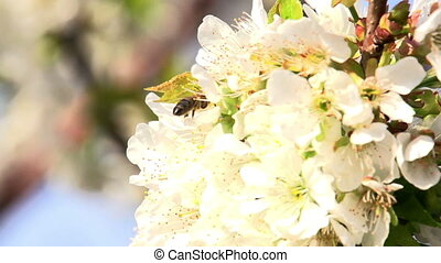 Pollination - Slow Motion at a rate of 240 fps. Bee flies...